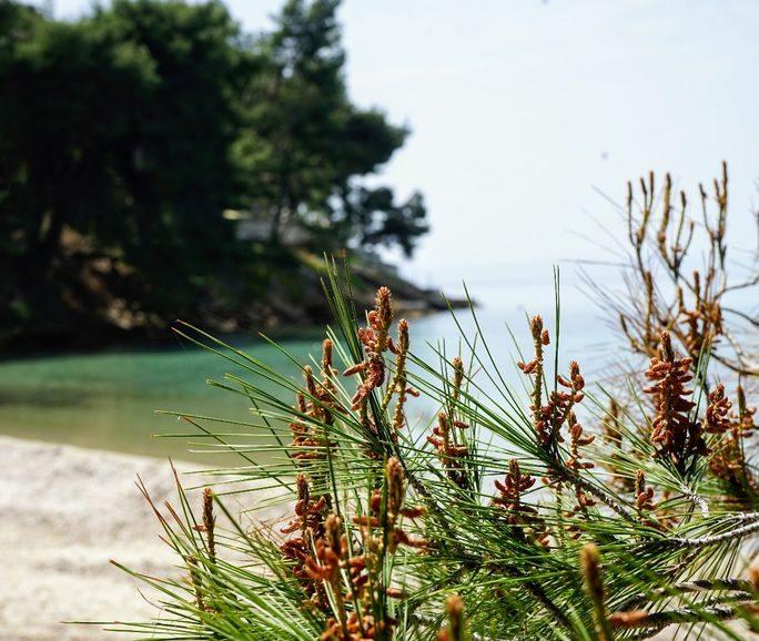 beach-pine-trees-halkidiki-sithonia